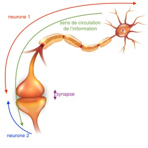 67390662 - neuron passes signal to another neuron.
